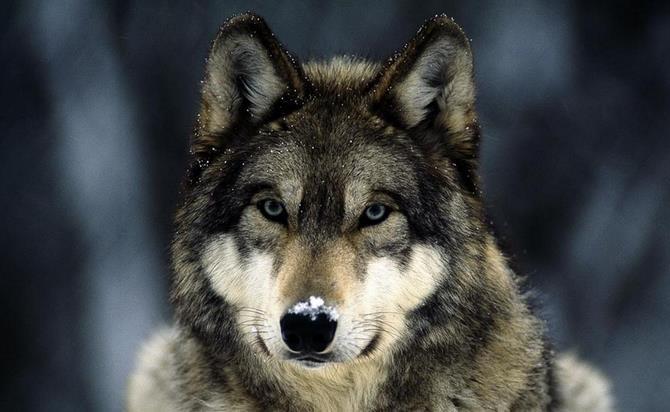 Рисунок 1 - Волки - предки современной собаки