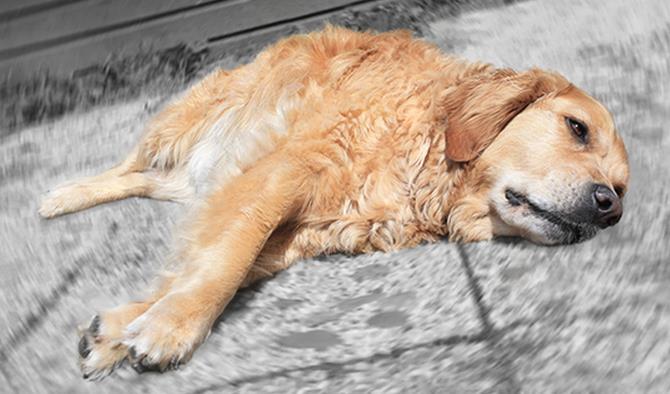 Рисунок 1 - Заболевшая собака