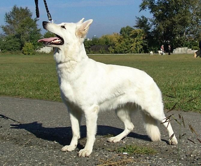 Рисунок 2 - Белая собака