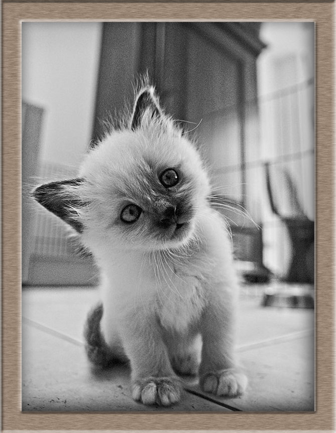 Рисунок 1 - Котенок Бирманской кошки