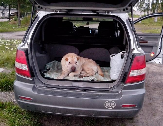 Рисунок 1 - Собака в багажнике