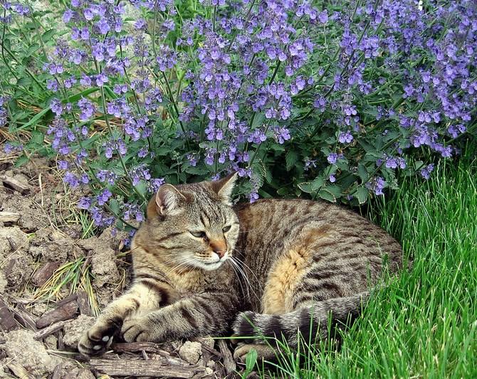 Рисунок 1 - Котик рядом с кустом кошачьей мяты