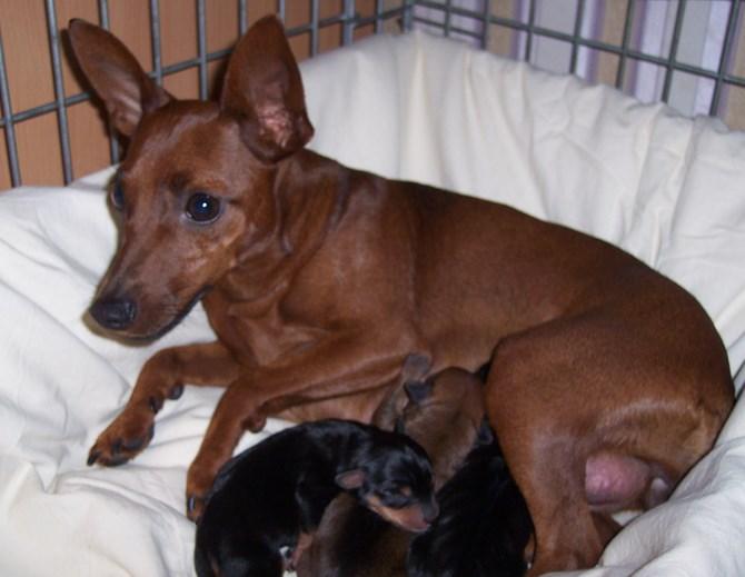 Рисунок 3 - Собака кормит щенят молоком после родов
