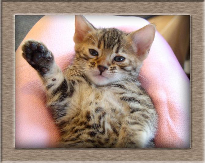 Рисунок 1 - Котенок Бенгальской кошки
