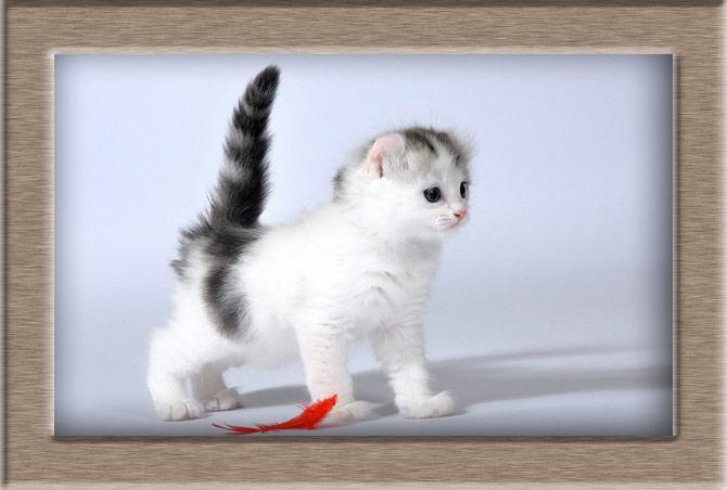 Рисунок 2 - Котенок породы Американский Керл