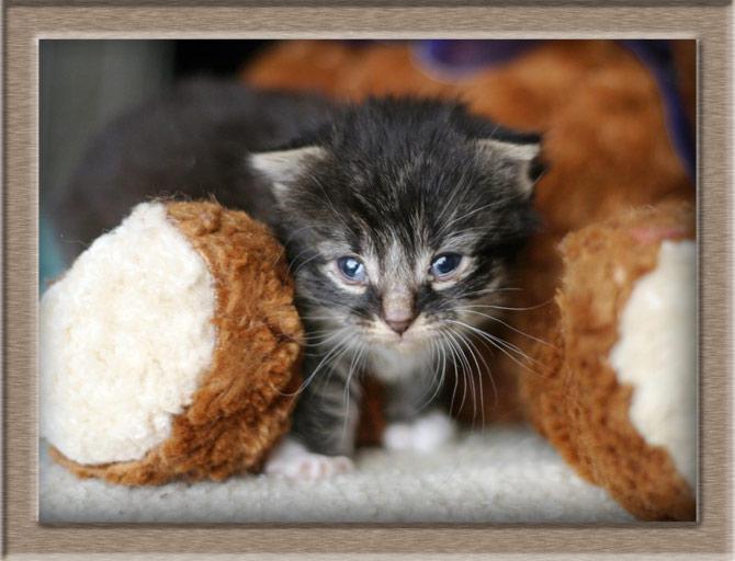 Рисунок 3 - Недельный котенок