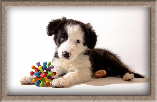 Рисунок 3 - Красивый щенок Колли