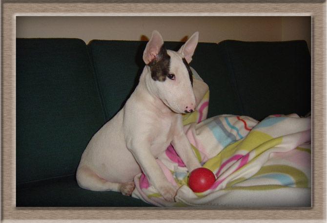 Рисунок 3 - Чудной щенок бультерьера