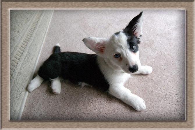 Рисунок 3 - Черно-белый щенок Вельш-корги