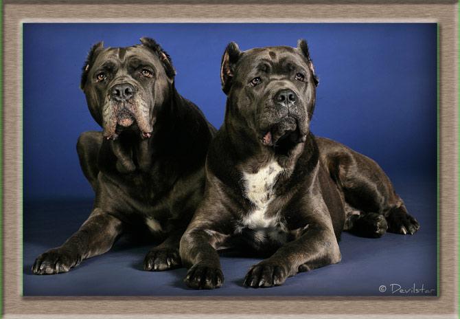 Рисунок 1 - Две собаки с купированными ушами